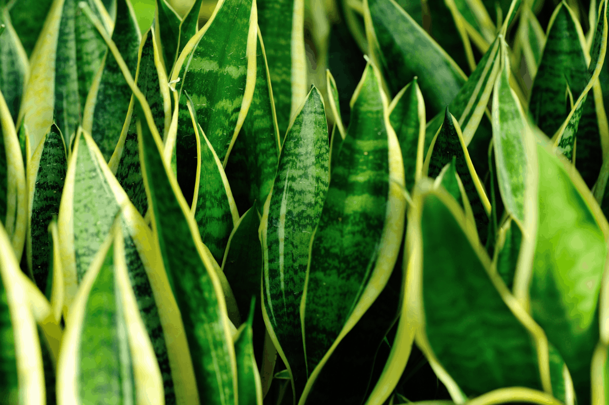 11-snake plant Best Air Purifying Plants NASA-approved
