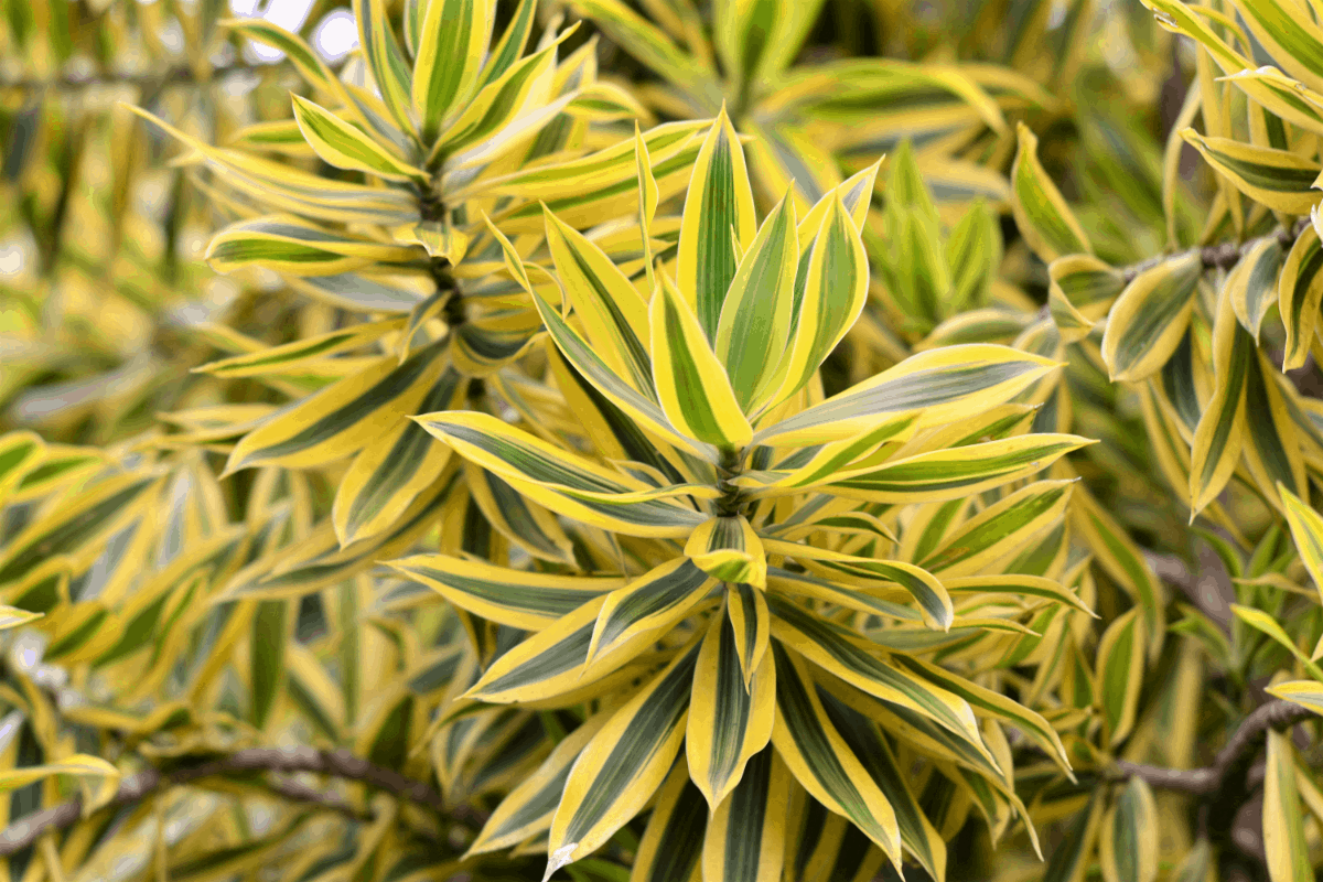12-dracena Best Air Purifying Plants NASA-approved