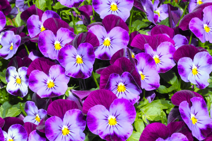 edible flowers how to harvest and storage