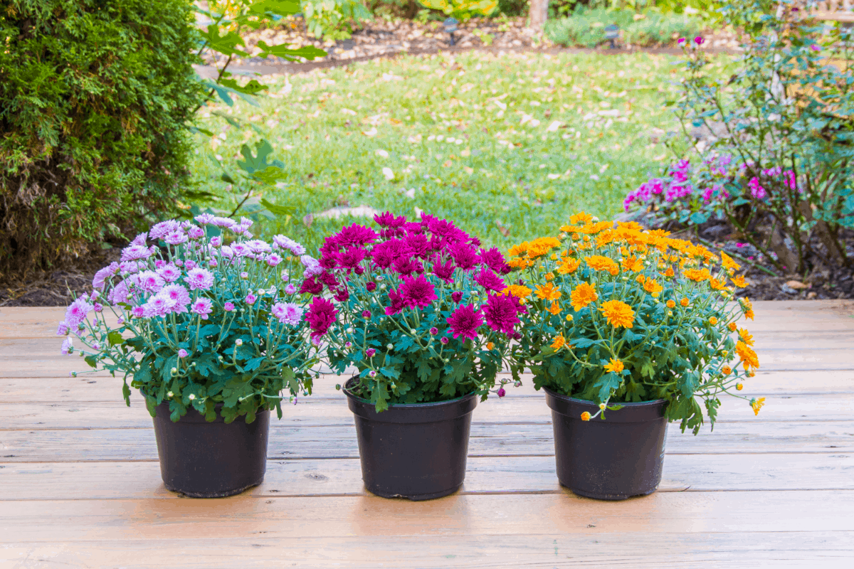 6-mums plants Best Air Purifying Plants NASA-approved