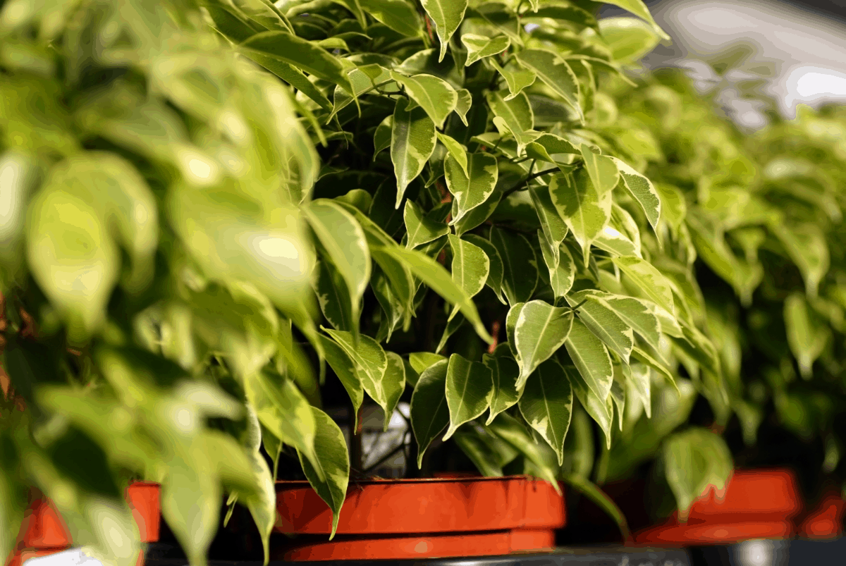 7-ficus Best Air Purifying Plants NASA-approved