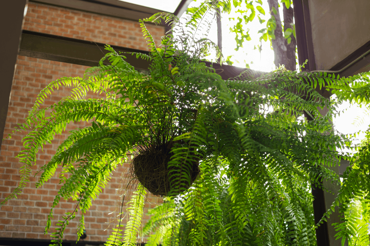 8-boston fern Best Air Purifying Plants NASA-approved