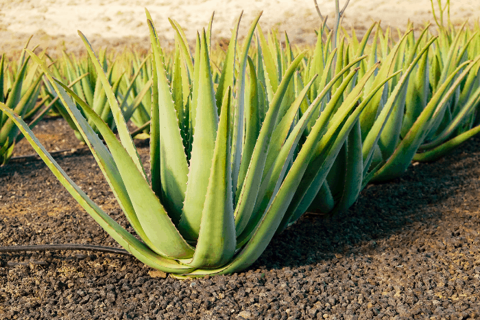 Aloe Vera Unique Benefits & Uses: Skin, Hair and More