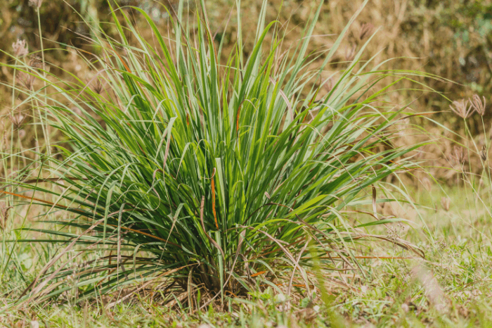 Does Citronella Grass Repel Flies: How to Grow, Uses, and Benefits